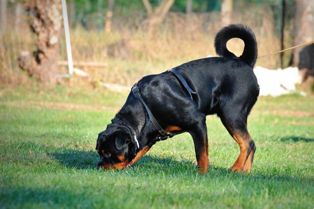 Maintrailing - Dog Academy Italia, Addestramento cani Varese
